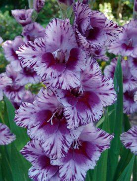 Gladiole Passos Pachet 8 Bulbi