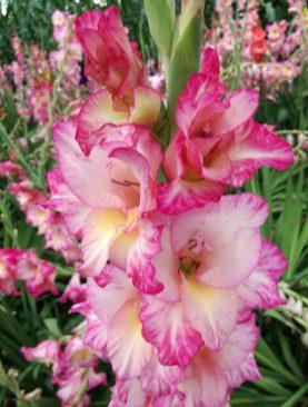 Gladiole Priscilla Pachet 10 Bulbi
