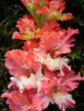 Gladiole Crete Frizzled Coral Lace