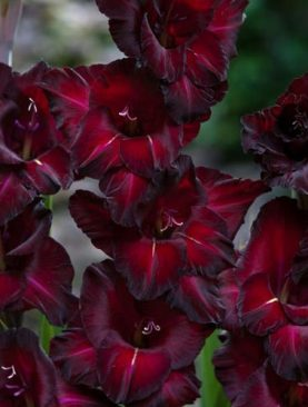 Gladiole Black Surprise Pachet 10 Bulbi