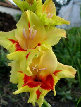 Gladiole Safari