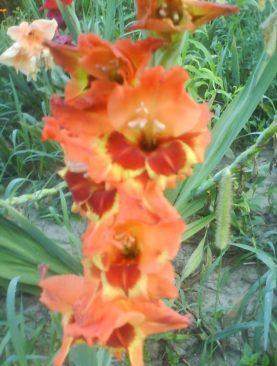 Gladiole Alice Tip Fluture