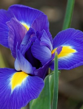 Iris Blue Magic Pachet de 10 Bulbi