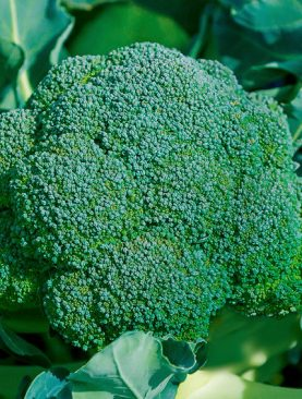 Seminte de Broccoli Burney F1