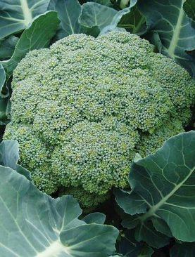 Broccoli Coronado F1