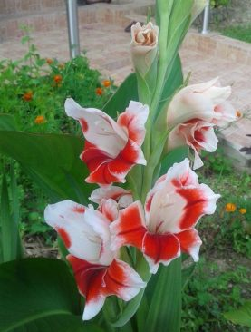 Gladiole Shocking Pachet 10 Bulbi