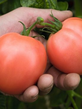 Tomate Torbay F1 Pachet 1000 Seminte
