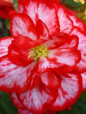 Begonia Marmorata Rosu si Alb