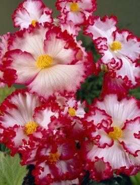 Begonia Franjurata Alb si Rosu