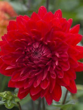 Dalia Garden Wonder