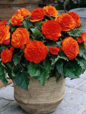 Begonii Cu Flori Mari, Duble Portocalii