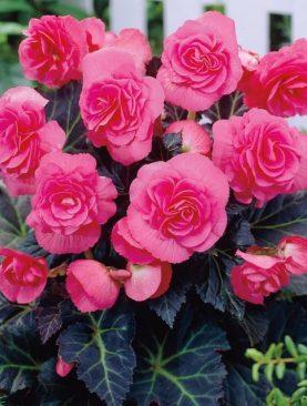 Begonii Duble Roz