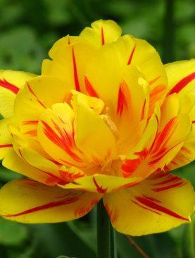 Lalele Monsella cu Flori Duble Pachet 10 Bulbi