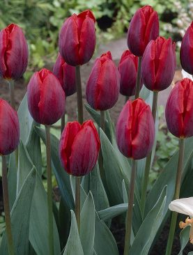 Lalele Couleur Cardinal Rosu Aprins