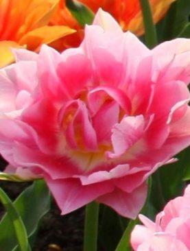 Lalele cu flori tip bujor Peach Blossom