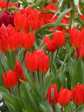 Lalele Multiflorale Praestans