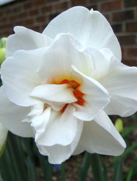 Narcise Acropolis cu Flori Duble