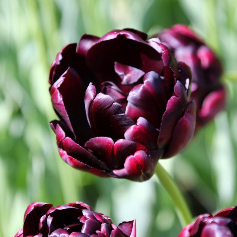Амстердам сад тюльпанов фото есть