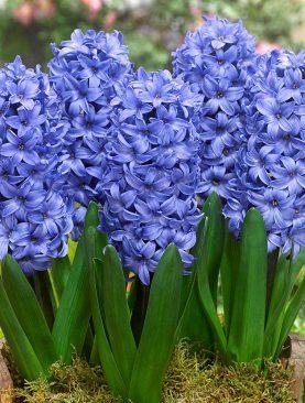 Zambile Albastre Delft Blue