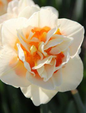 Narcise Flower Parade cu Flori Duble