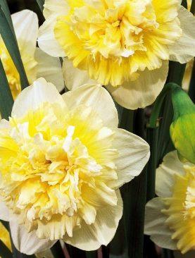Narcise Ice King cu Flori Duble