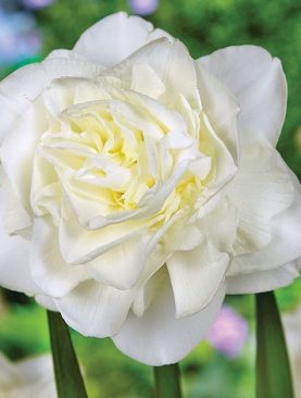 Narcise Obdam Albe cu Flori Duble