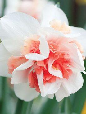 Narcise Replete cu Flori Duble