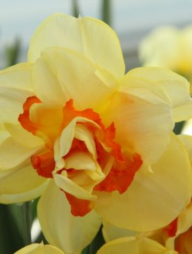 Narcise Tahiti cu Flori Duble