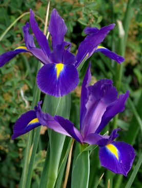 Iris Purple Sensation Pachet de 10 Bulbi