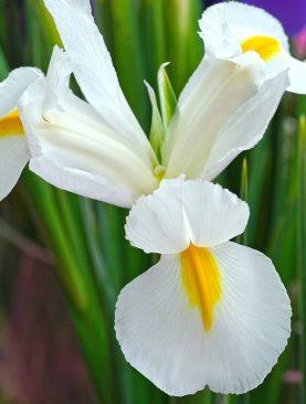 Iris White van Vliet Pachet 10 Bulbi