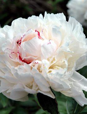 Bujori Albi Parfumati cu Nuante de Rosu