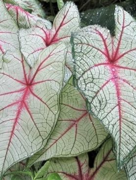 Caladium White Queen