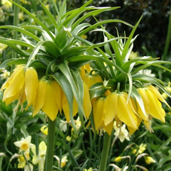 Floarea Pastelui Galbena