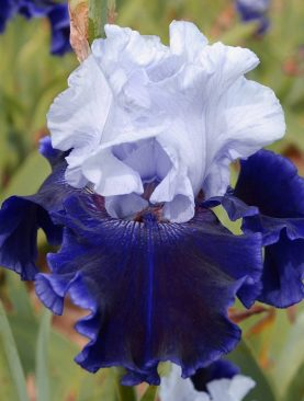 Iris Germanica World Premier