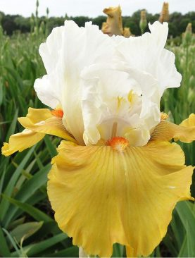 Iris Germanica Yes