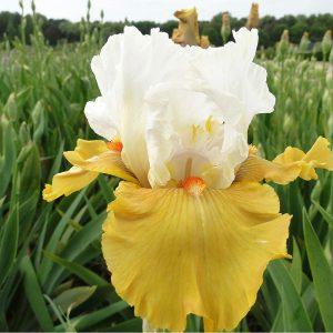 Iris Yes