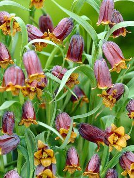 Fritillaria Uva Vulpis - Pachet 10 bulbi