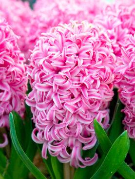 Zambile Roz Pink Pearl Pachet 3 Bulbi
