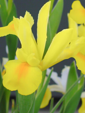 Iris Royal Yellow Pachet de 10 Bulbi